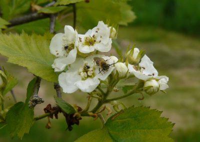 hloh - kvet