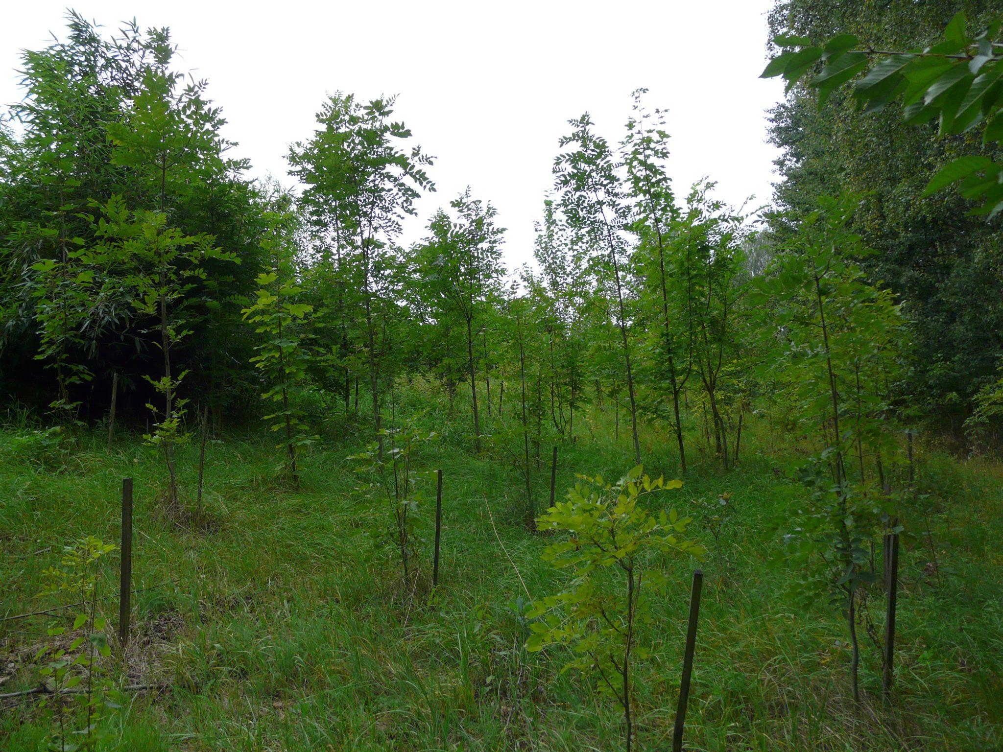 kopicovani, nizky les